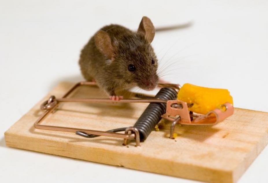 Как в домашних условиях избавится от крыс