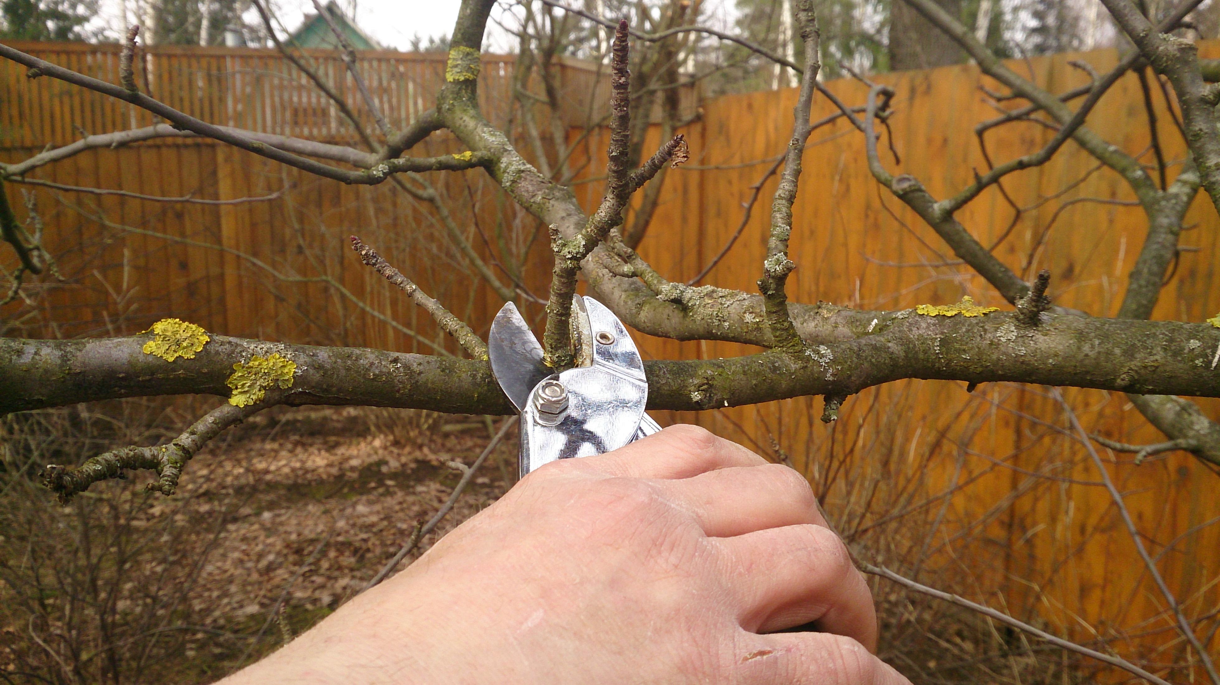 Как правильно обрезать яблоню осенью схема