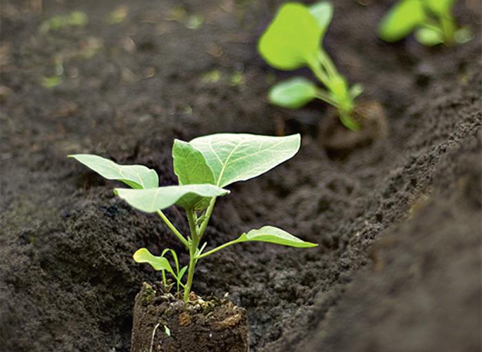 Условия для выращивания перца в открытом грунте 36