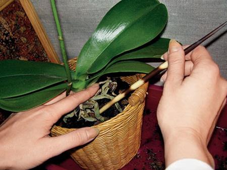 Фаленопсис: пересадка орхидеи фаленопсис в домашних ...