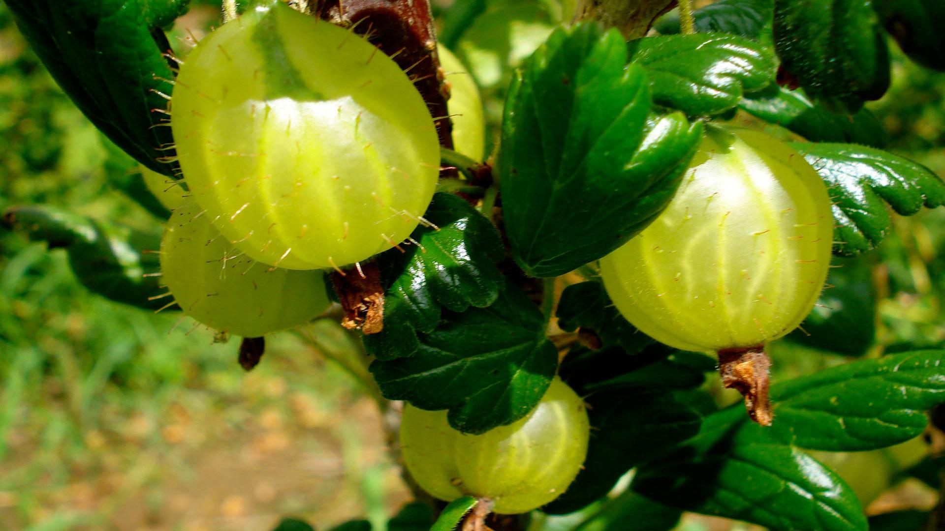 Выращивание фикуса в домашних условиях » Популярно