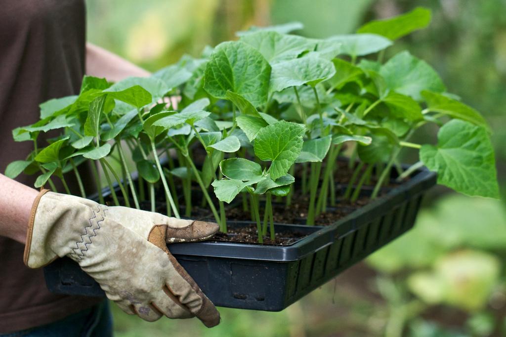 Выращивание огурцов: когда сеять рассаду для теплицы и парника 26
