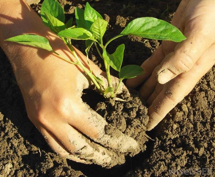 Посевы в грунт, рекомендации на 2017 год