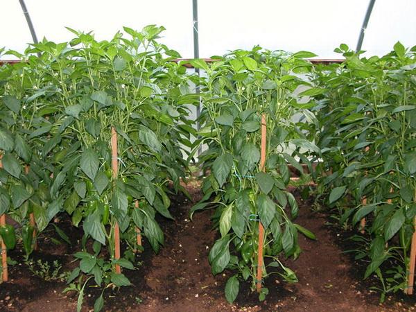 Когда сажать перцы, огурцы и помидоры на рассаду в 2017 году 36