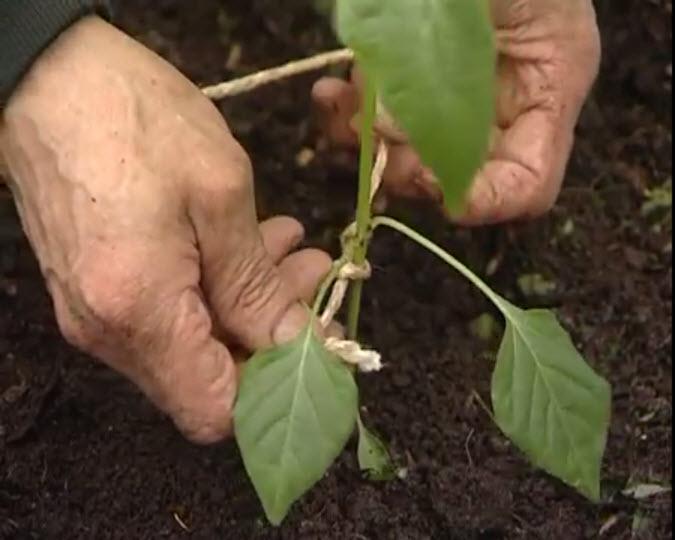 Когда и как правильно посадить перец