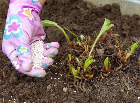 Как удобрять клубнику осенью