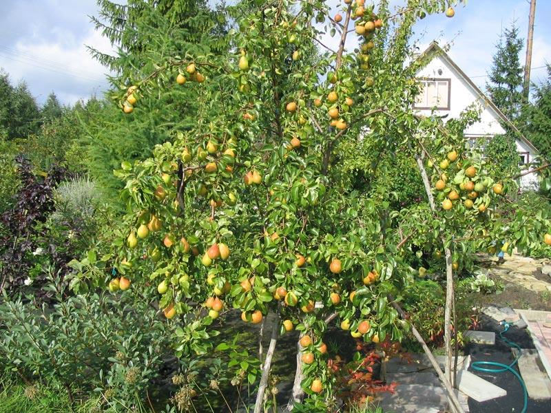 как посадить абрикос весной пошаговое руководство - фото 3