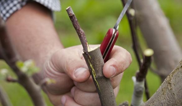 Как привить грушу к яблоне весной и летом: видео инструкция