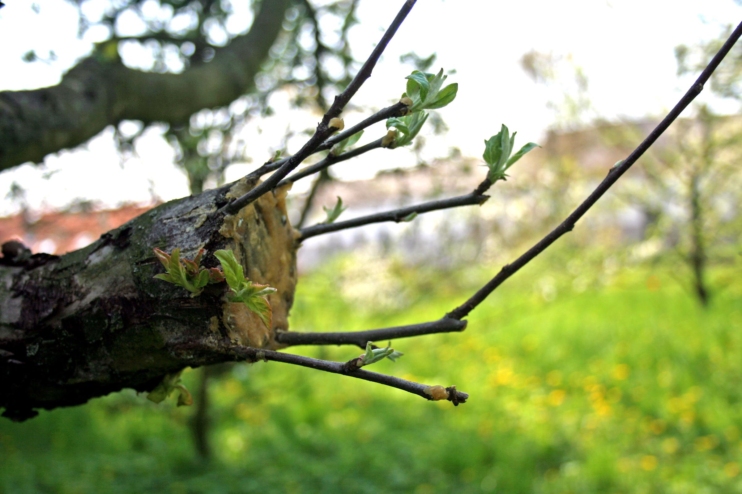 Как правильно привить яблоню весной пошагово (Фото)