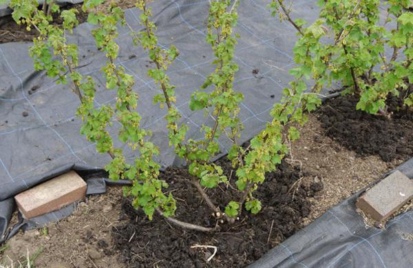 как сажать смородину весной пошаговая инструкция - фото 5
