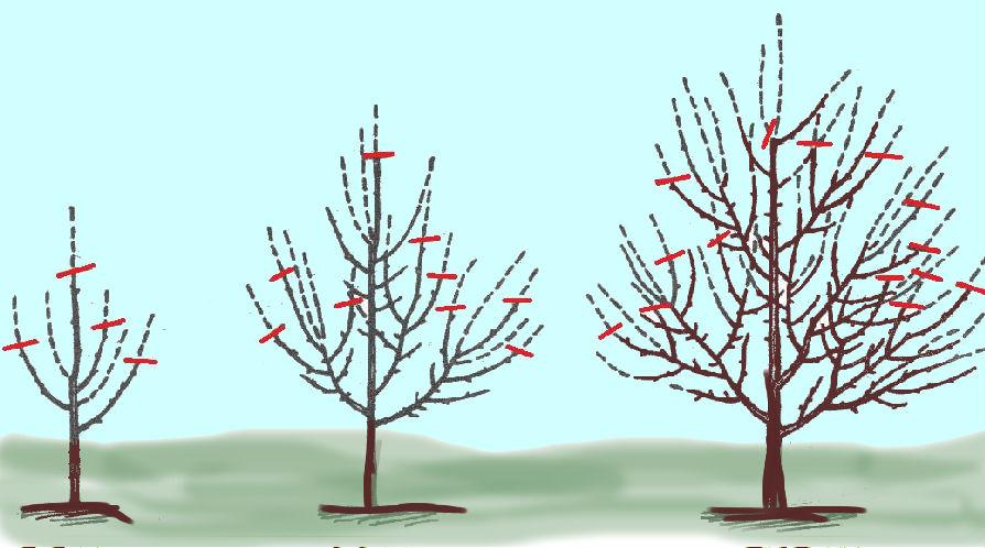 Обрезка груши осенью, весной, летом: как правильно обрезать 92