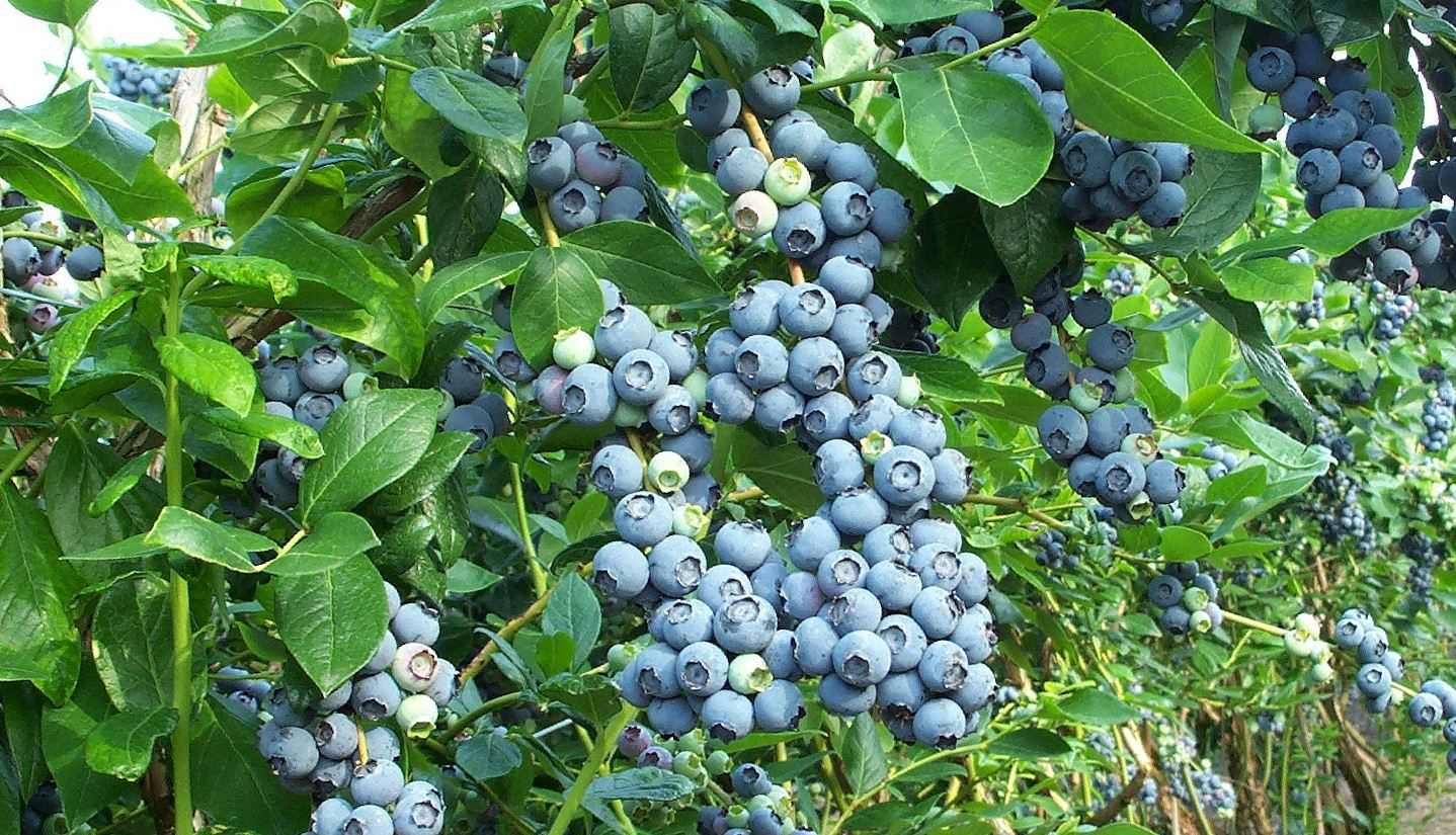 голубика садовая фото куста