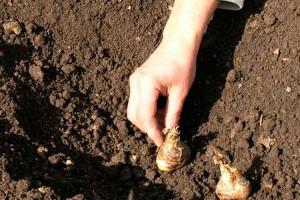 Посадка гладиолусов весной в грунт