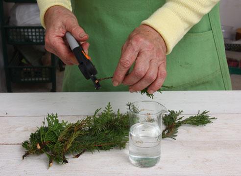 Как размножить ель черенками в домашних условиях
