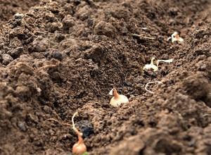 Посадка лука на головку весной семенами