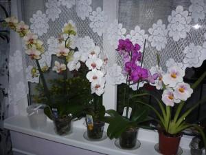 Почему у орхидеи вялые листья