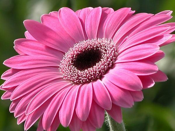 цветы похожие на ромашку фото и названия