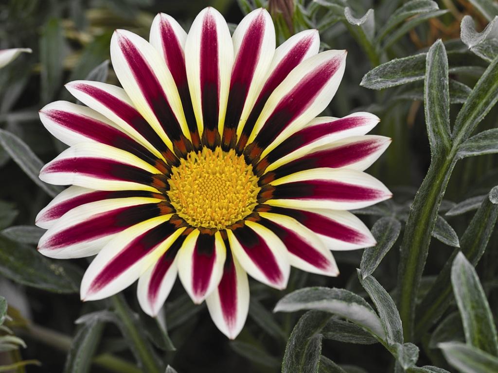 Цветы похожие на эхинацею