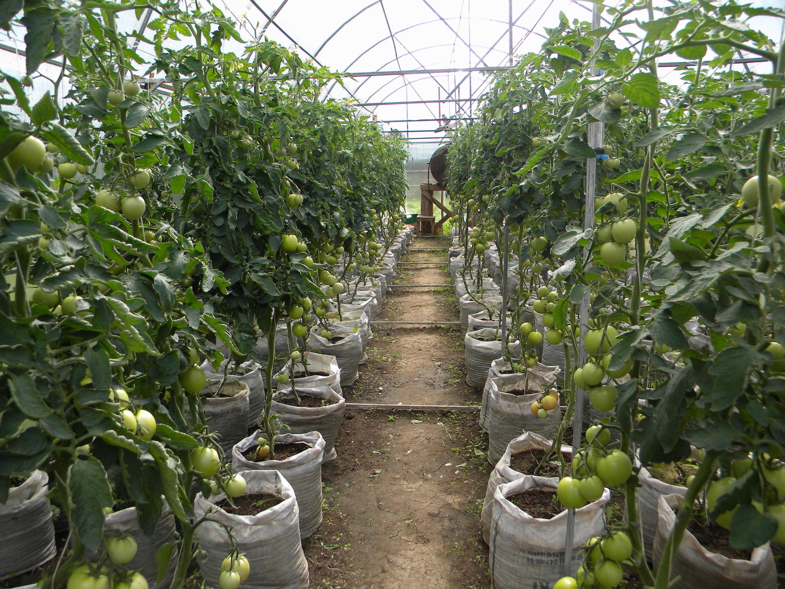 Какие лучше сажать помидоры в теплице из поликарбоната