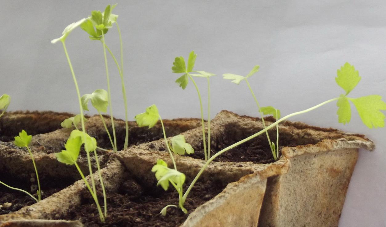Корневой сельдерей выращивание 16