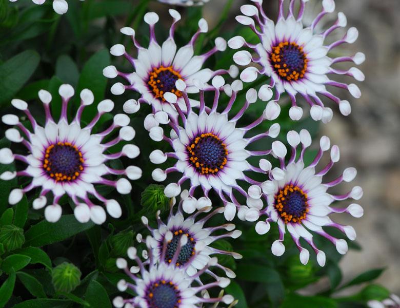 Цветок остеоспермум многолетник