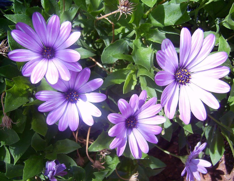 Уход за цветами остеоспермум