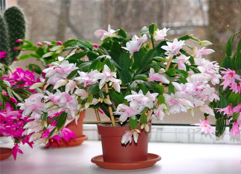 Цветы комнатные уход за декабристом
