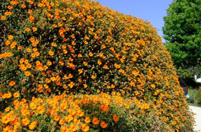 многолетние лианы для сада фото