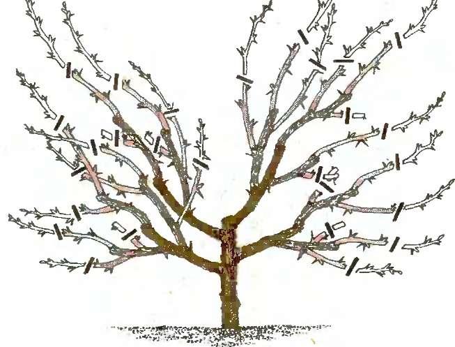Обрезка войлочной вишни весной для начинающих, видео и фото.
