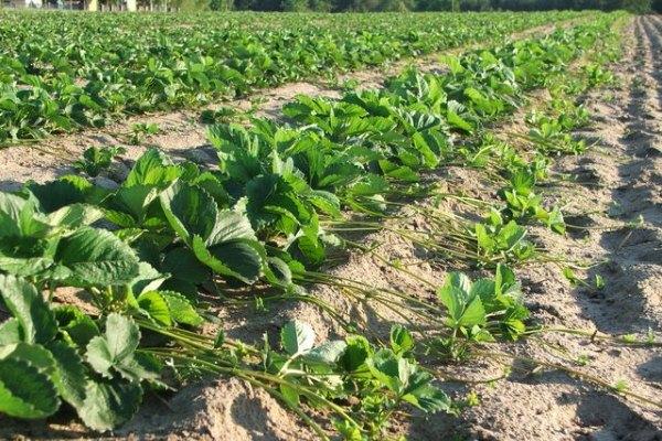 как сажать клубнику весной пошаговая инструкция - фото 3