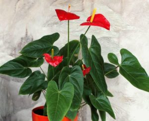 Почему сохнут листья у спатифиллума