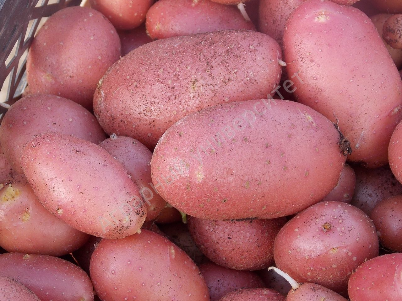 фото картофель ред скарлет