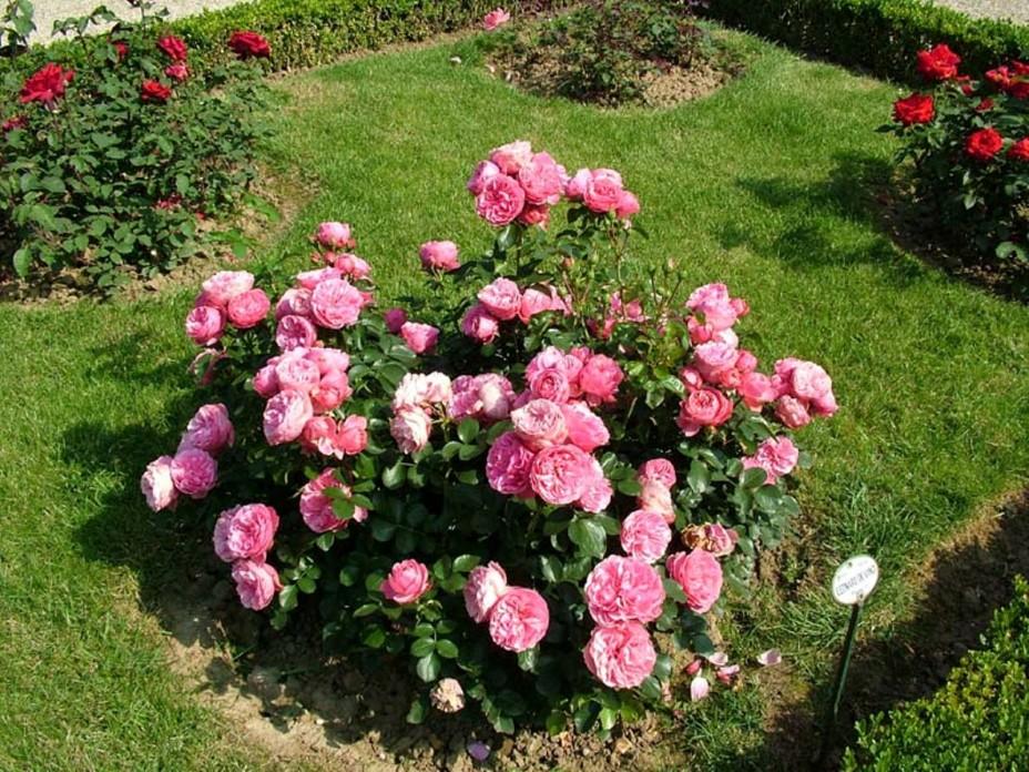 Пересадка роз осенью в сибири