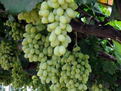 Виноград-видео по выращиванию и уходу 535