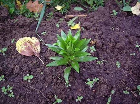 Как сажать проросшие луковицы лилий осенью 21