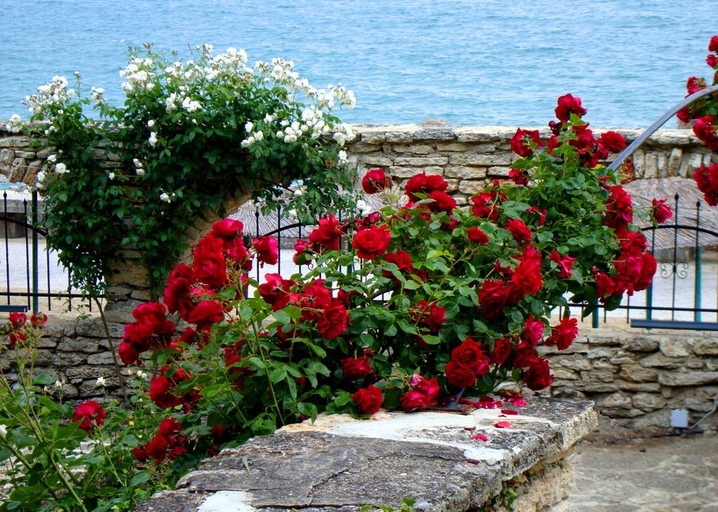 Плетистая роза после цветения