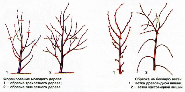 Обрезка черешни осенью схема