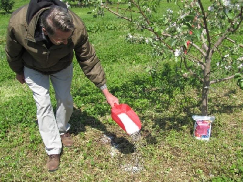 Чем подкормить молодую яблоню и грушу осенью