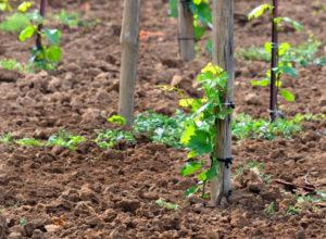 Посадка черенков винограда осенью