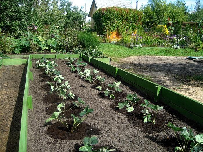 как сажать клубнику весной пошаговая инструкция - фото 11