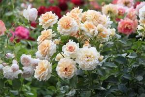 Подкормка садовых роз