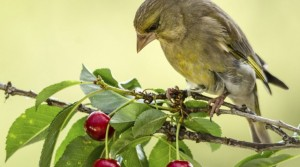 Защитить черешню от птиц
