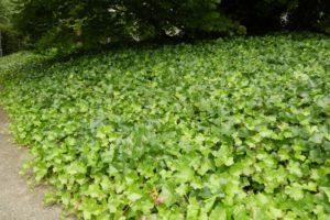 Вечнозеленый садовый плющ