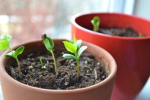 Вырастить черешню из косточки