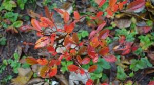 Краснеют листья у садовой голубики