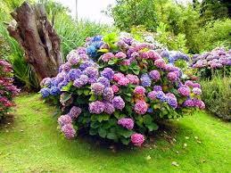 Почему не цветет садовая гортензия