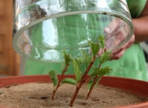Размножение спиреи черенками