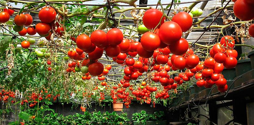 Выращивание томатов и помидоров 168