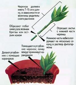 Размножение бугенвиллии черенками