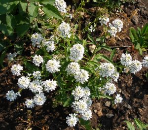 Выращивание из семян ибериса зонтичного и уход за ним